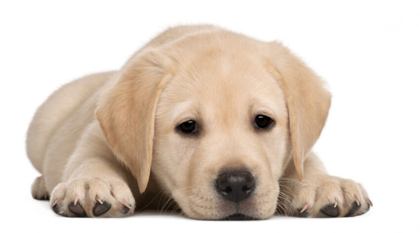 Что представляет собой собака породы Лабрадор и как за ней ухаживать