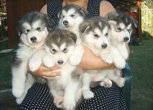 Где купить щенка хаски