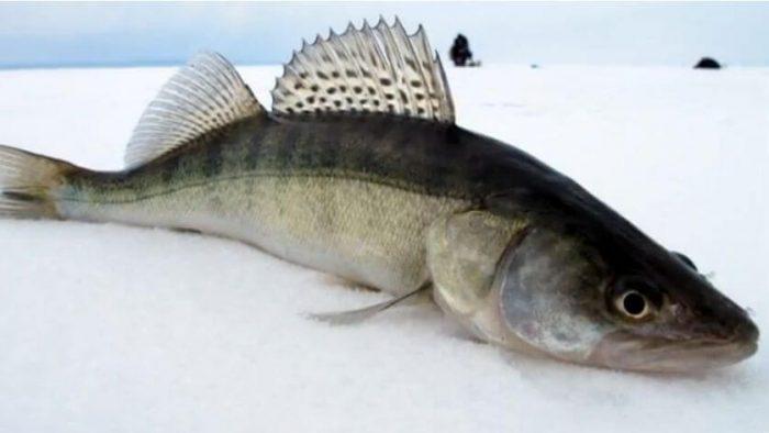 Как поймать судака в зимний период