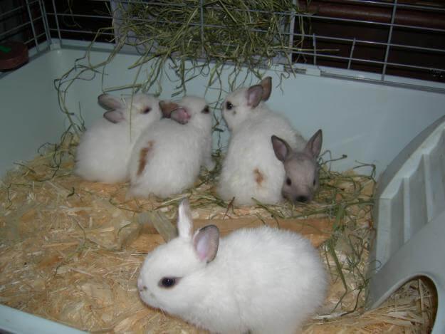 Как содержать декоративных домашних кроликов?