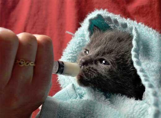 Как вырастить котят без кошки-мамы