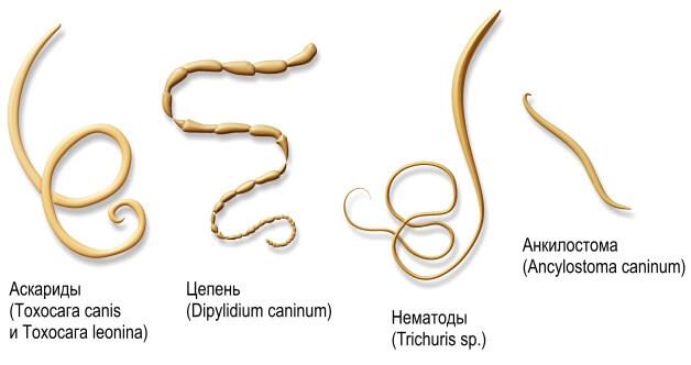 Какие паразиты могут быть у котёнка-найдёныша и как от них избавиться?