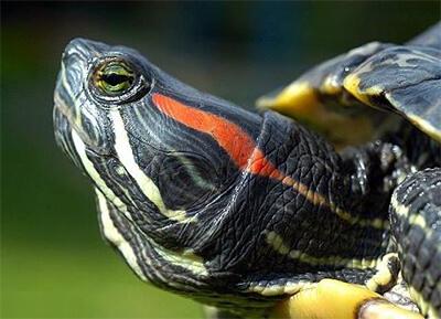 Красноухая аквариумная черепашка