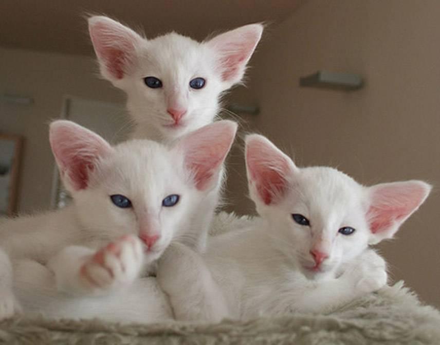 Окрасы шерсти у кошек