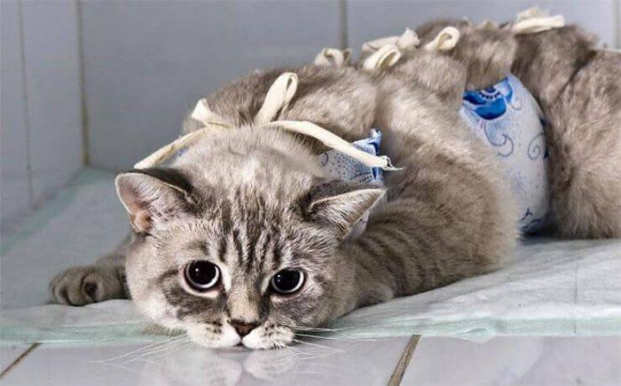 Оптимальный возраст для стерилизации кошки и кастрации кота
