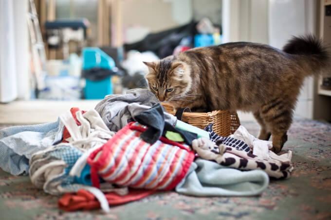 Почему кошка ворует вещи?