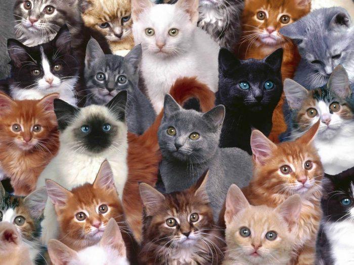 Разнообразие пород кошек