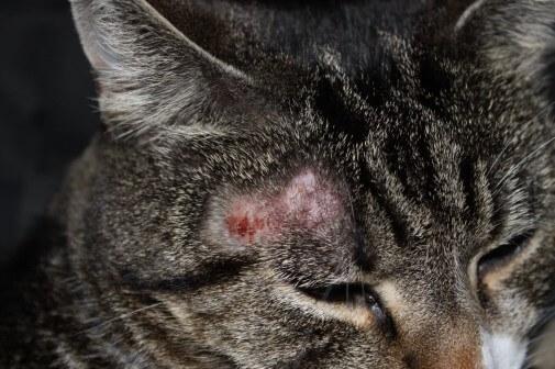 Стригущий лишай, или микроспория: как вылечить кошку и не заразиться