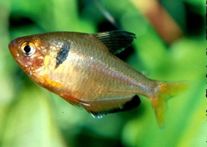 Заболевания аквариумных рыбок