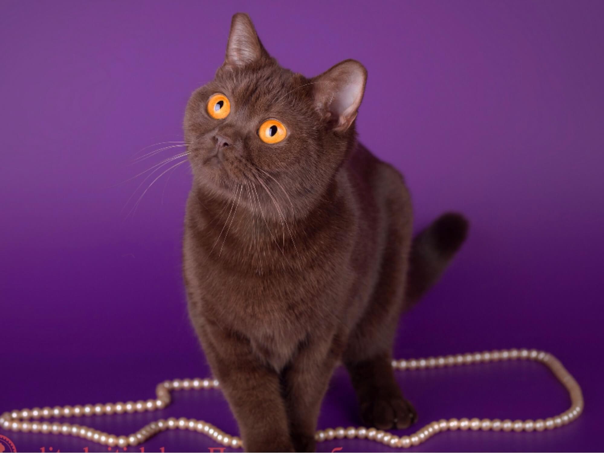 Британские шоколадные кошки - почему они такие дорогие