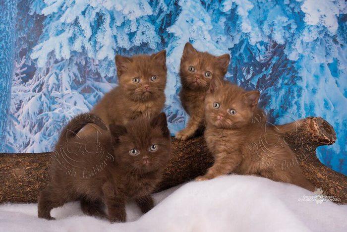 Почему шоколадные кошки так популярны