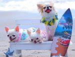 Порода собак чихуахуа - это интересно!