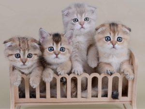 Как ухаживать за шотландскими вислоухими котятами - будь здоров, малыш!