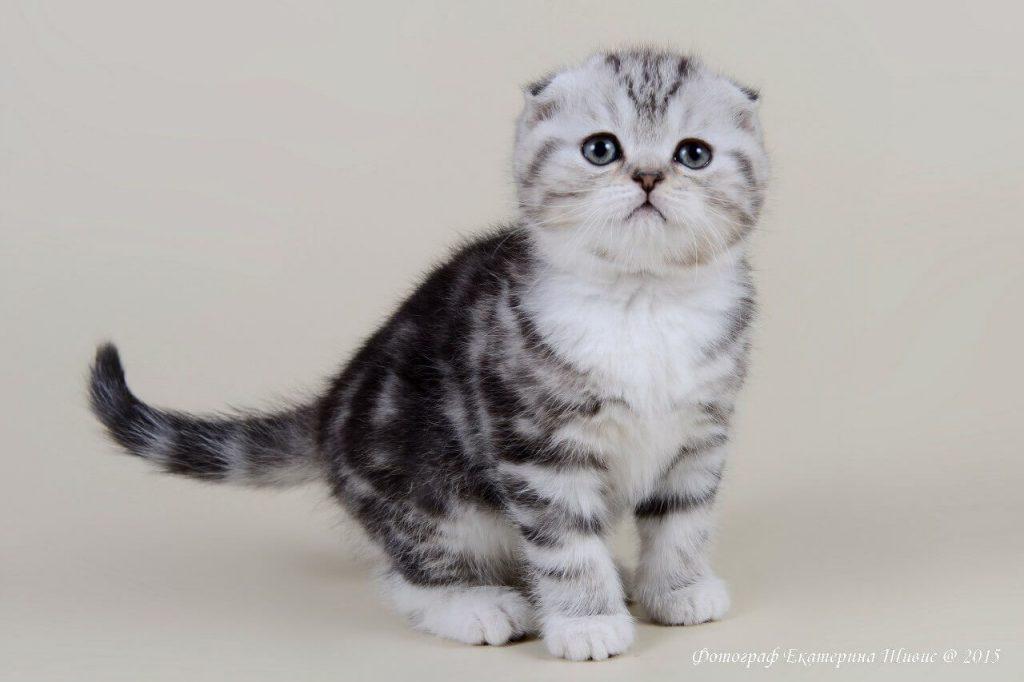 Как прививать шотландского вислоухого котенка